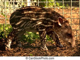 Baby Tapir - Tapir