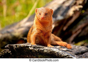 Dwarf Mongoose - Mongoose
