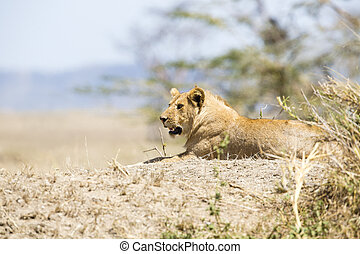 African male lion in Serengeti - Young male lion in...