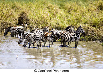 Zebras drinks of a water hole - African Zebras in Serengeti...