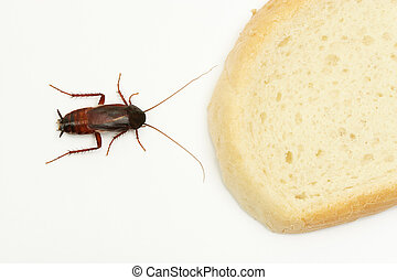 Cockroach and slice of bread on white background