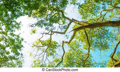 Crowns of tall trees on the background of bright sky - Video...
