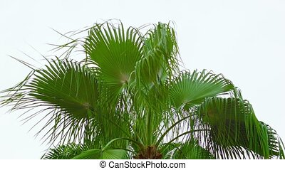Palm fronds sway the wind against the sky - Video 1080p -...