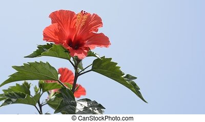 Chinese hibiscus in left - Chinese hibiscus flower in left...