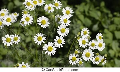 German chamomile in green - German chamomile flowers in...