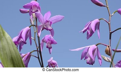 Orchid under sky - Bright pink purple orchid flowers under...