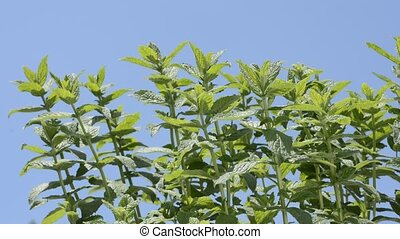 Spearmint under sky - Bright green spearmint plants under...