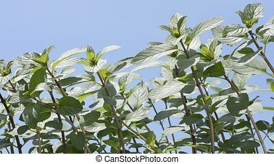 Peppermint under sky - Peppermint plants bathed in sunlight...