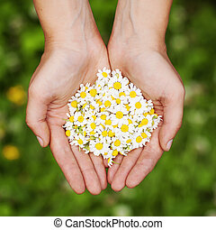 Womans hand with a camomile