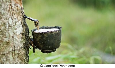Cup to collect the milk of rubber tree juice. Manufacture of latex.
