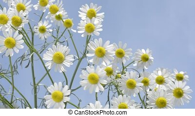 German chamomile under sky - Close up german chamomile...