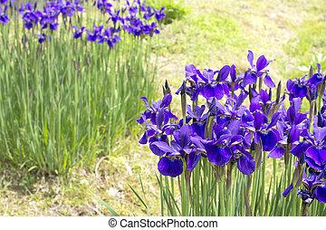 Purple iris garden - Purple siberian iris flowers in green...