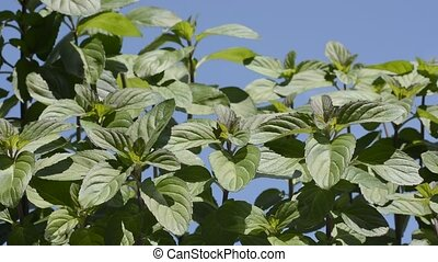 Orange mint under sky - Bright green orange mint plants...