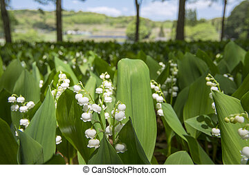 Lily of the valley field - Lily of the valley flower field...