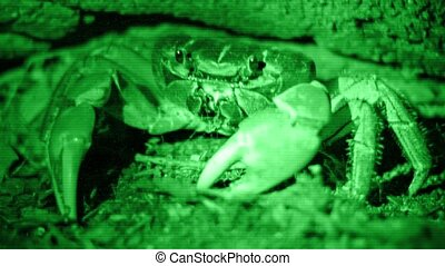 Terrestrial Crab Cardisoma carnifex or chicken crab...