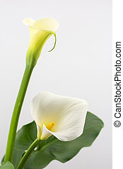 White calla lily flower on a gray background