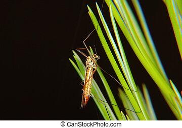 Cranefly.