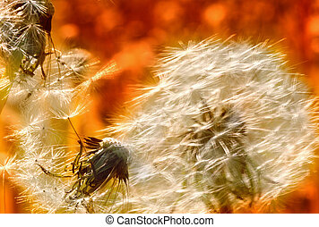 Charm of summer - Dandelions on meadow
