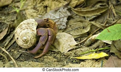 Hermit crab running on the ground in the forest Thailand,...