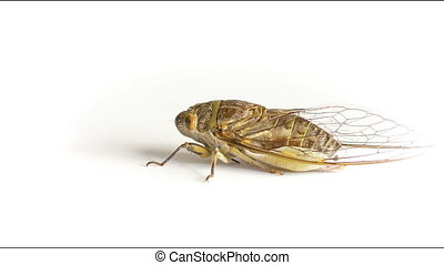 Live adult cicada on a white background - Video 1920x1080 -...