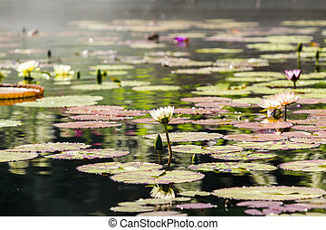 Water garden - Blooming waterlilies of different colors in...