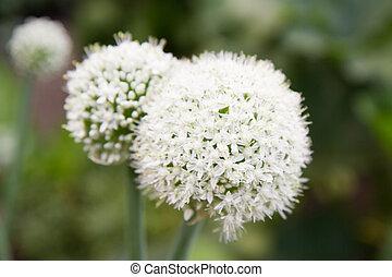 Onion flower - Onion blooming in a garden