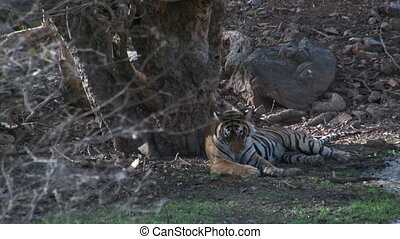 Bengal Tiger Panthera tigris tigris relaxing under a Tree