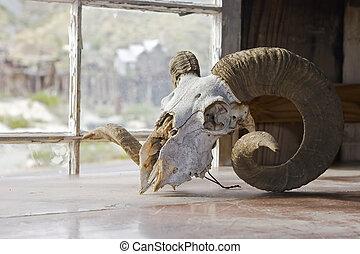 grande, cuerno, Sheep, cráneo