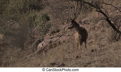 Sambar Deer Cervus unicolor for tiger in Ranthambhore NP