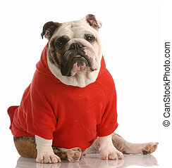 english bulldog wearing sweater