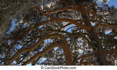 reddish branches of Scots pine, with the snow melting with...