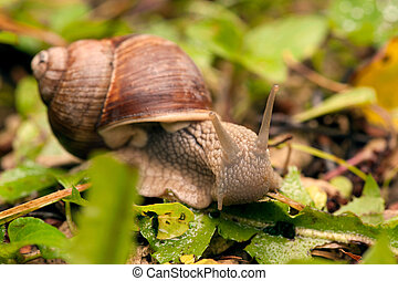 Crawler snail on the grass