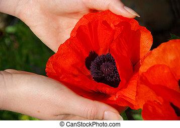 oriental poppy in hands 02
