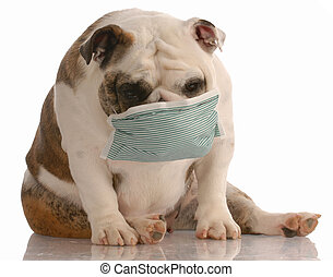 dog wearing medical mask - sick or contagious dog - bulldog...