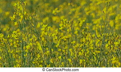 Ecology. Field of Raps in a windy day. - There is a field of...