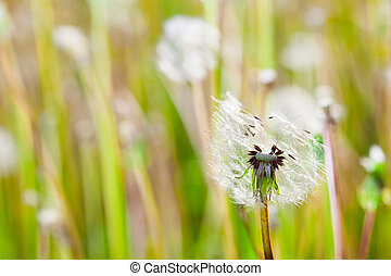 Charm of summer - Dandelions on a green meadow