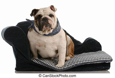 dog sitting on dog bed - english bulldog sitting on blue dog...