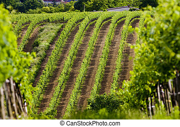 vineyards, Southern Moravia, Czech Republic