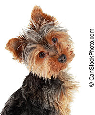 Cute Yorkie puppy - closeup on cute yorshire terrier puppy,...