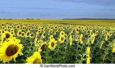 Field of sunflowers on a background
