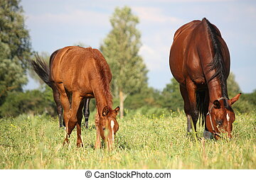 Chestnut foal and its eating grass at the pasture - Cute...