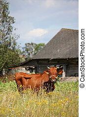 marrón, letón, vaca, pasto, de madera, granero