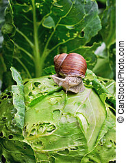 Snail is sitting on cabbage in the garden - Close-up Snail...