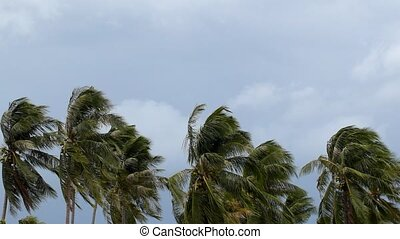 Palms at Hurricane. Bad Windy Weather in Tropics.