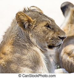 Lion rests in Serengeti - Young male lion in Serengeti...