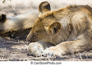 Lion sleeping in Serengeti
