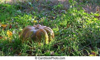 pumpkin in grass