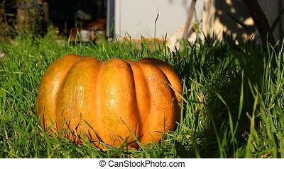 pumpkin in grass