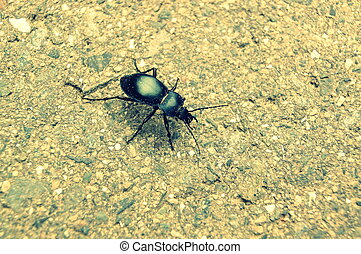 Running Ground Beetle - A running ground beetle