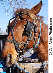 Amish Horse - An amish horse taking a break from pulling...